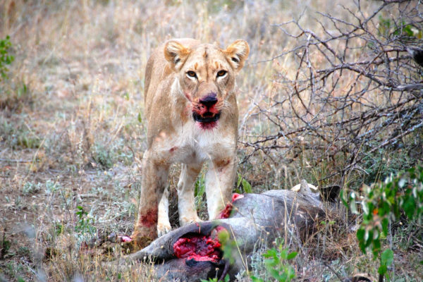 Gallery lion kill
