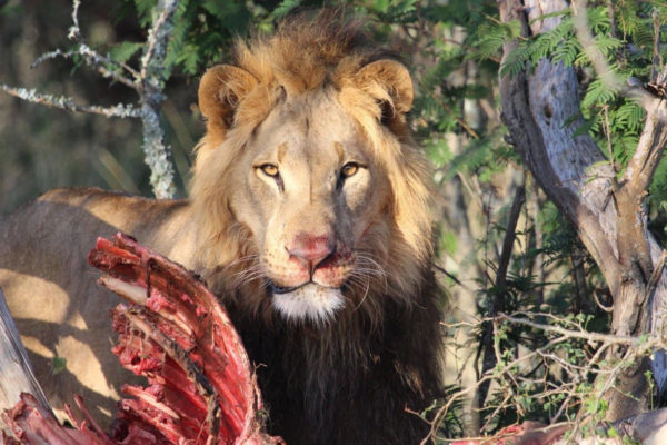 Gallery male lion kill