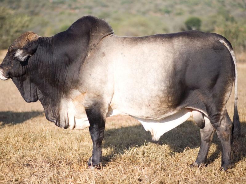 Sosian Cattle (2)