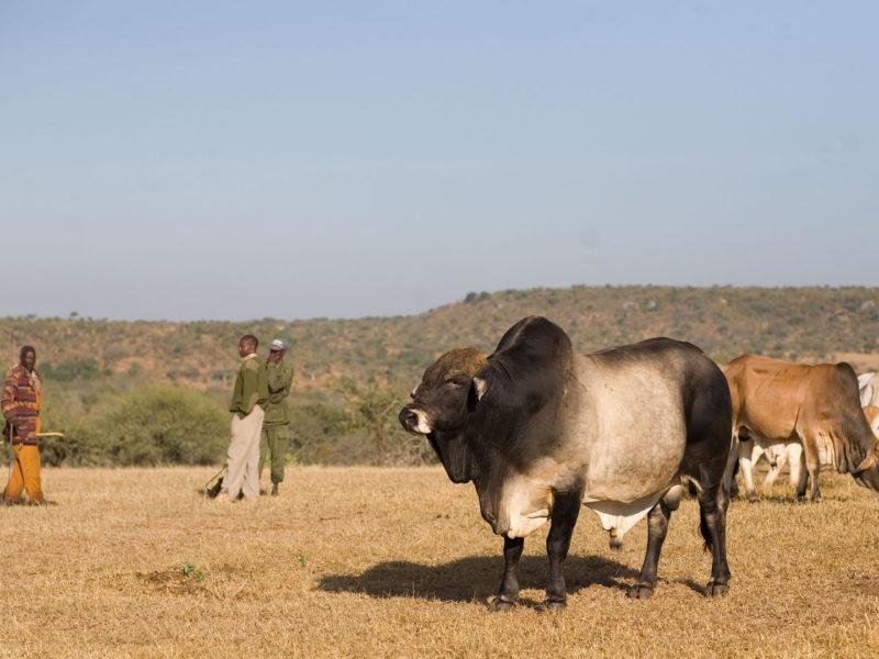 Sosian Cattle (4)