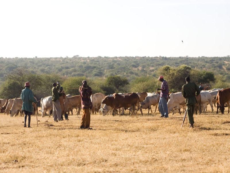 Sosian Cattle (5)