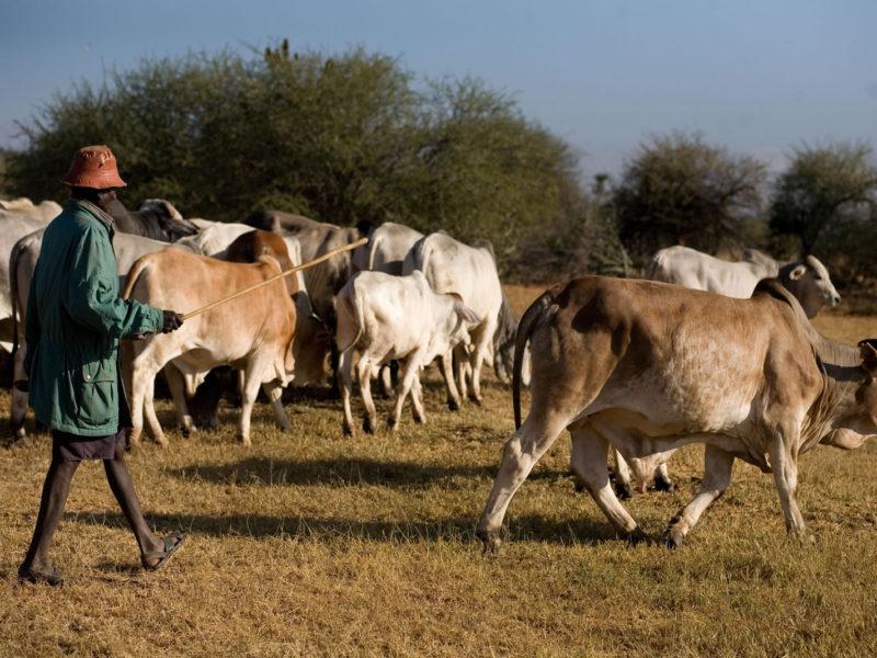 Sosian Cattle (6)
