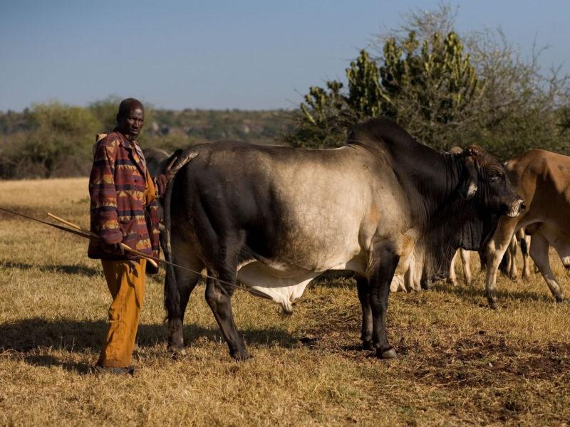 Sosian Cattle (7)