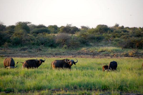 gallery buffalo 2