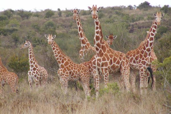gallery - giraffe