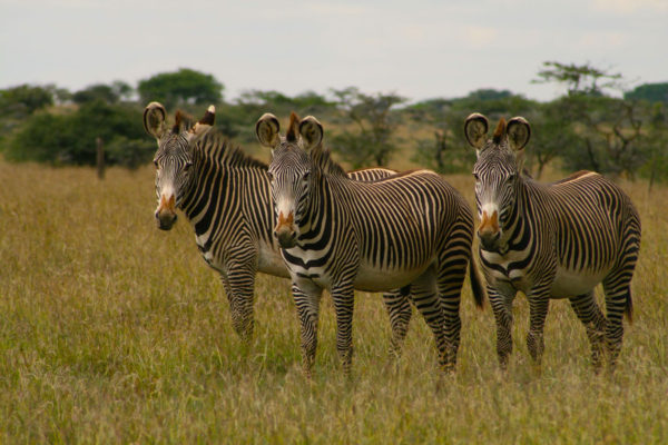 gallery - grevy zebra