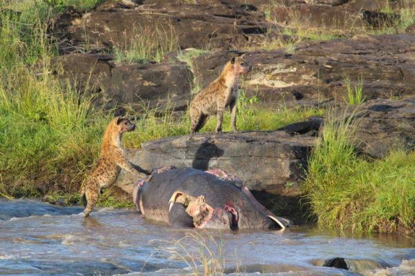 gallery hyena hippo