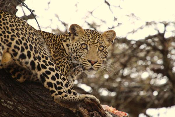 gallery - leopard