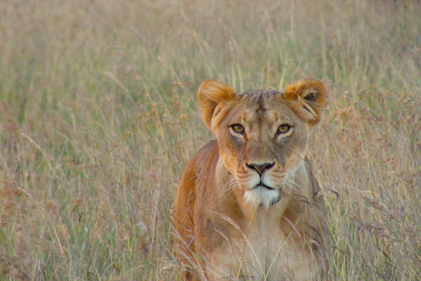 gallery - lioness