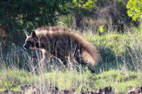 gallery - striped hyena