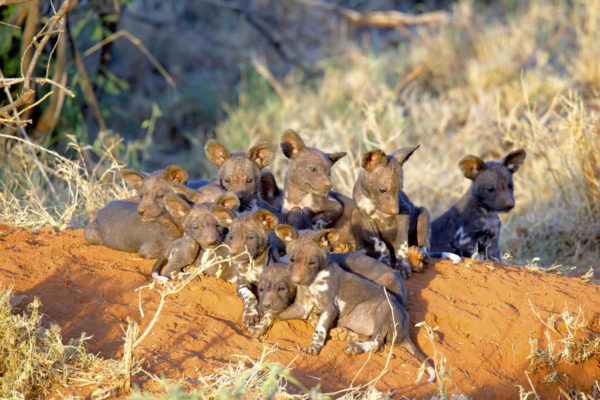 gallery - wild dog pups
