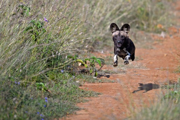 gallery wild dog running