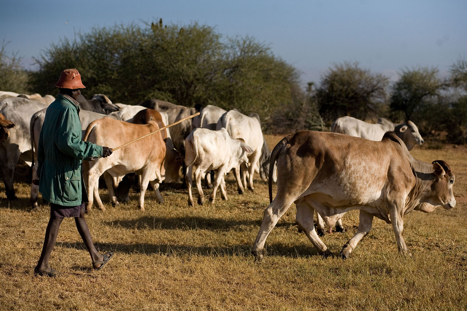 For Once Join Herd >> Boran Cattle Dairy Farming Kenya Beef Cattle Ranch