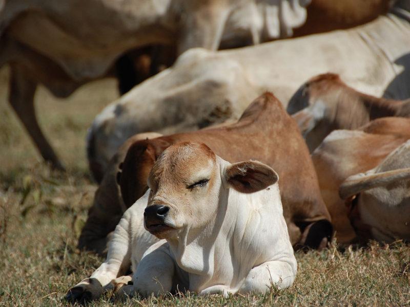 cattleCalf2-Maria